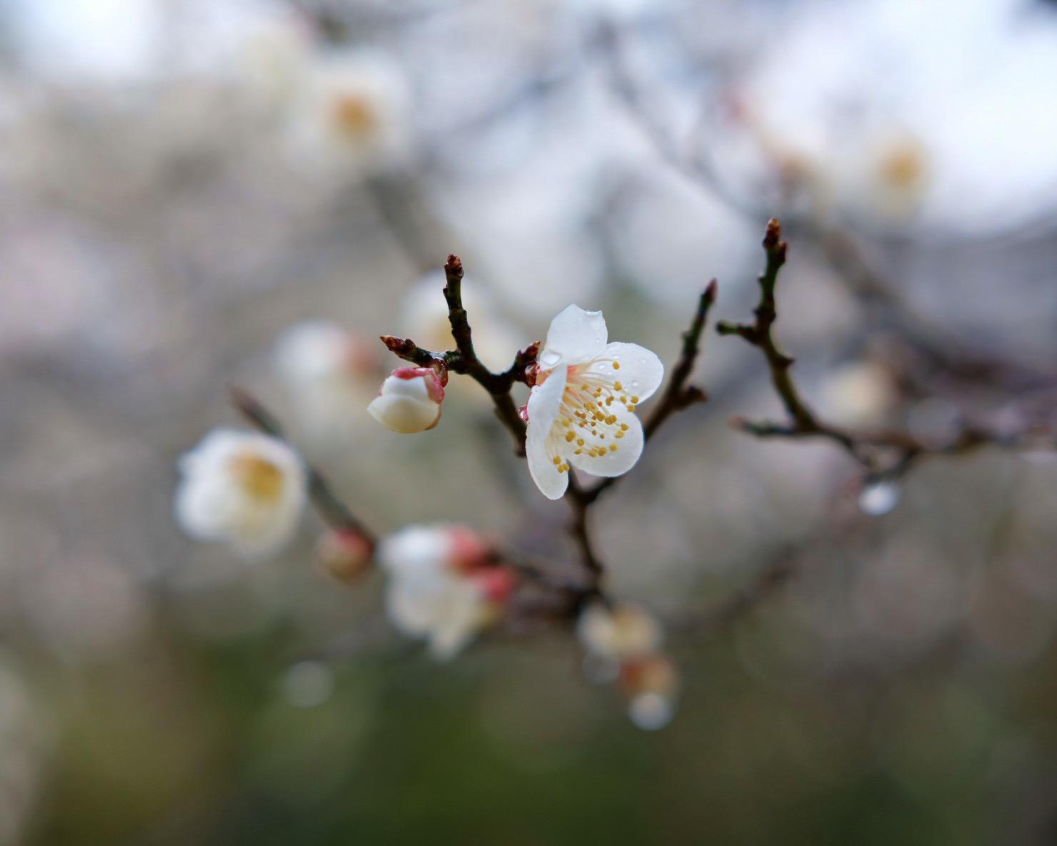 Macro shot of cherry blossoms in full bloom.